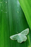 Green over green. Green moth (Geometridae) on a green leaf royalty free stock photos