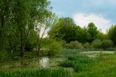 Green overgrown pond. Summer in the park.  stock photography