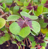 Green Oxalis, purple spots, many of the species are known as wood sorrels, clover four leaves, close up. Stock Photos