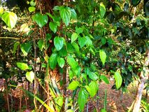 Delicious paan leaf on the tree in healthy growing. royalty free stock photography