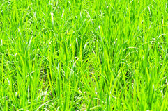 Green paddy crops Stock Images