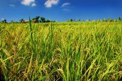 Green paddy field Royalty Free Stock Photos
