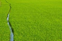 Green paddy field Stock Image