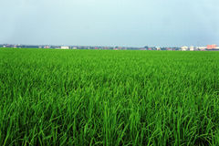 Green Paddy Field. Paddy Field in asian country Royalty Free Stock Photos