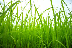 Green paddy in field Royalty Free Stock Photography