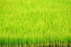 Green paddy field. A background of green rice paddy field Royalty Free Stock Images