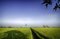 Green paddy field with blue sky and sunny day under the tree Royalty Free Stock Image