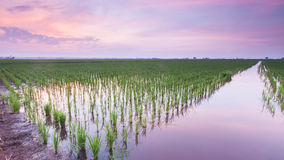 Green paddy field Royalty Free Stock Photography