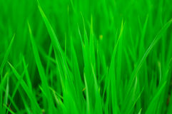 Green Paddy field. Green and Fresh Paddy in a Sunny Day Stock Image