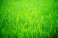 Green Paddy field Stock Image