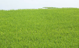 Green paddy field Stock Photo