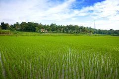 Green paddy field in the plains of Jogjakarta Royalty Free Stock Photos