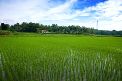 Green paddy field in the plains of Jogjakarta, Ind Royalty Free Stock Photos