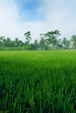 Green paddy field in the plains of Jogjakarta, Ind Stock Photo