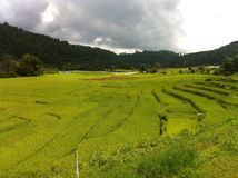 Green paddy field. The Green Rice Field Stock Image