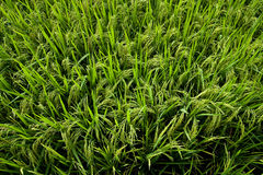 A green paddy field with rice grains about to ripe Royalty Free Stock Photos