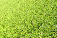Green Paddy Field Stock Photography