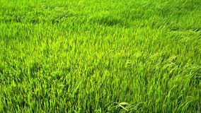 Green paddy field. Slow motion: green paddy field with wind blowing stock video footage