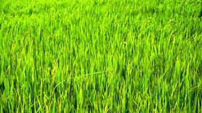 Green paddy field. Slow motion: green paddy field with wind blowing stock video
