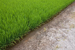 A green paddy field and soil Royalty Free Stock Image