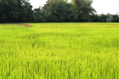 Green paddy field Royalty Free Stock Photos