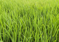 Green paddy field Royalty Free Stock Image