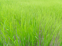 Green paddy Stock Images