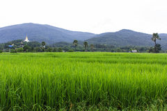 Green paddy field with Thai temple on mountain Stock Images