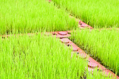 Green paddy field Stock Photos