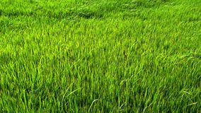 Green paddy field. With wind blowing stock video
