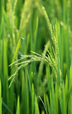 Green paddy in field Royalty Free Stock Image