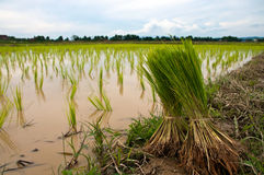 Green paddy fields Stock Images