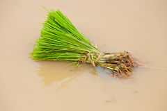 Green paddy fields. Of Thailand royalty free stock image