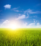 Green paddy fields landscape. Paddy fields landscape view in clear blue sky Royalty Free Stock Image