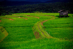 Green paddy fields. Scenery meadow viewpoint and green paddy rice field Stock Photography