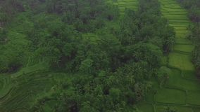 Green paddy fields on terraces aerial landscape. Drone view growing rice plantation in Bali, Indonesia. Agricultural and. Grain industry. Farming and stock video