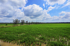 Green paddy filed with tree and blue sky landscape in Malaysia Royalty Free Stock Photo