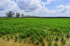 Green paddy filed with tree and blue sky landscape in Malaysia.  Royalty Free Stock Photography