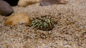 Green Paddy Frog. The green frog is buried in the sand stock video footage