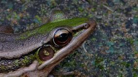 Green paddy frog. stock video footage