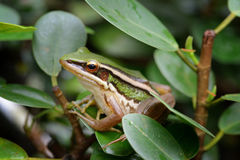 Green paddy frog Stock Photo