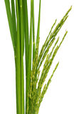 Green paddy Stock Photography