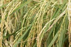 Green Paddy plant with seeds royalty free stock image