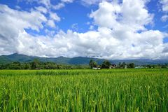 Green paddy rice. Green ear of rice in paddy rice field