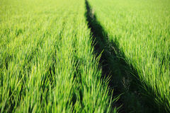 Green paddy rice in field Stock Images