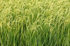 Green paddy rice in field. Close up of green paddy rice in field Stock Photography