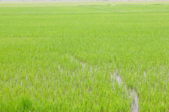 Green paddy rice field background Royalty Free Stock Photo