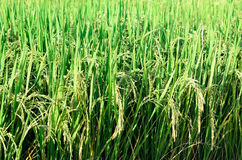 Green paddy rice field Royalty Free Stock Photography