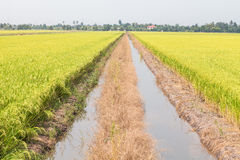 Green paddy rice in field. Royalty Free Stock Images