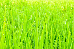 Green paddy rice field Stock Images